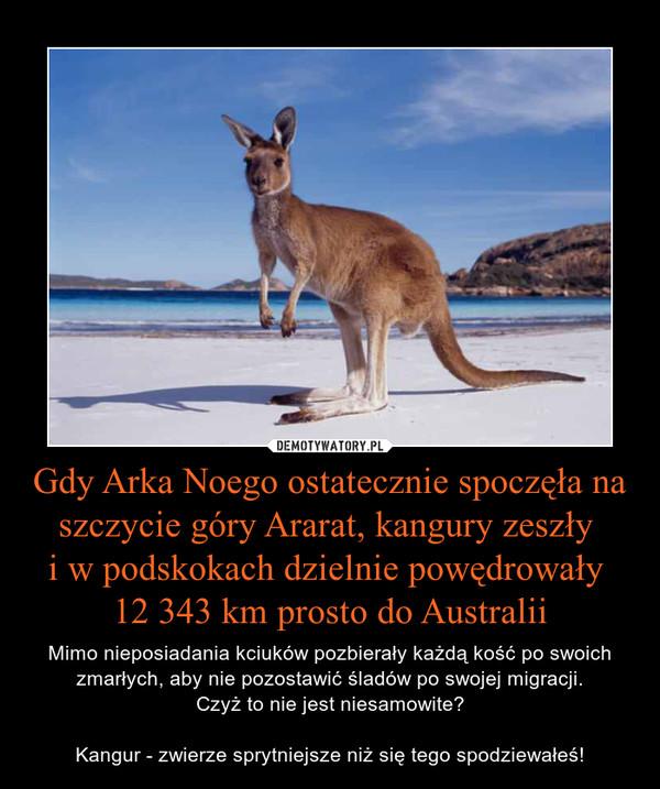 Gdy Arka Noego ostatecznie spoczęła na szczycie góry Ararat, kangury zeszły i w podskokach dzielnie powędrowały 12 343 km prosto do Australii – Mimo nieposiadania kciuków pozbierały każdą kość po swoich zmarłych, aby nie pozostawić śladów po swojej migracji.Czyż to nie jest niesamowite?Kangur - zwierze sprytniejsze niż się tego spodziewałeś!