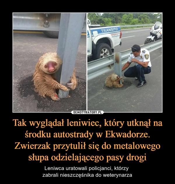 Tak wyglądał leniwiec, który utknął na środku autostrady w Ekwadorze. Zwierzak przytulił się do metalowego słupa odzielającego pasy drogi – Leniwca uratowali policjanci, którzy zabrali nieszczęśnika do weterynarza