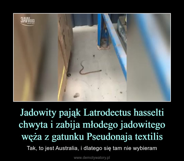 Jadowity pająk Latrodectus hasselti chwyta i zabija młodego jadowitego węża z gatunku Pseudonaja textilis – Tak, to jest Australia, i dlatego się tam nie wybieram