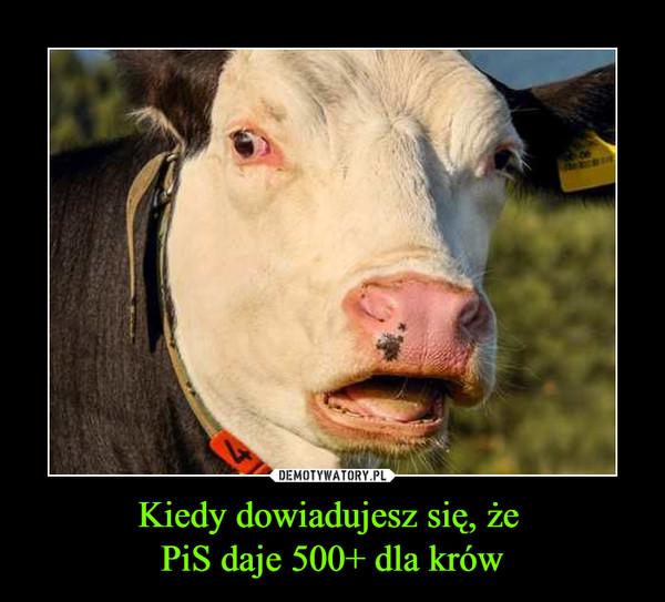 Kiedy dowiadujesz się, że PiS daje 500+ dla krów –