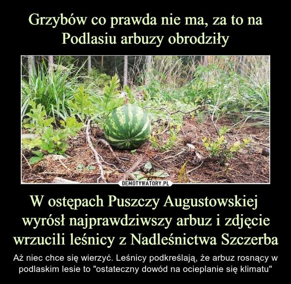 """W ostępach Puszczy Augustowskiej  wyrósł najprawdziwszy arbuz i zdjęcie wrzucili leśnicy z Nadleśnictwa Szczerba – Aż niec chce się wierzyć. Leśnicy podkreślają, że arbuz rosnący w podlaskim lesie to """"ostateczny dowód na ocieplanie się klimatu"""""""