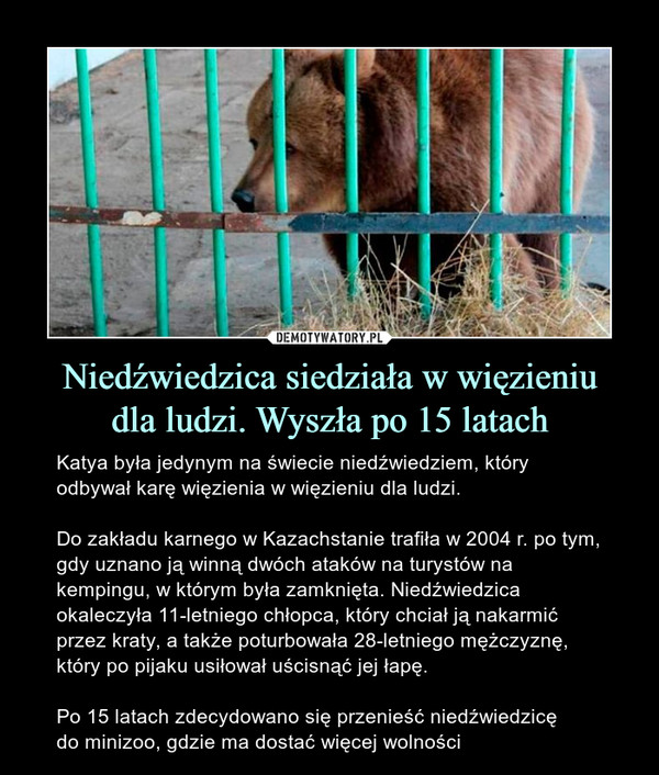 Niedźwiedzica siedziała w więzieniudla ludzi. Wyszła po 15 latach – Katya była jedynym na świecie niedźwiedziem, który odbywał karę więzienia w więzieniu dla ludzi.Do zakładu karnego w Kazachstanie trafiła w 2004 r. po tym, gdy uznano ją winną dwóch ataków na turystów na kempingu, w którym była zamknięta. Niedźwiedzica okaleczyła 11-letniego chłopca, który chciał ją nakarmić przez kraty, a także poturbowała 28-letniego mężczyznę, który po pijaku usiłował uścisnąć jej łapę.Po 15 latach zdecydowano się przenieść niedźwiedzicędo minizoo, gdzie ma dostać więcej wolności