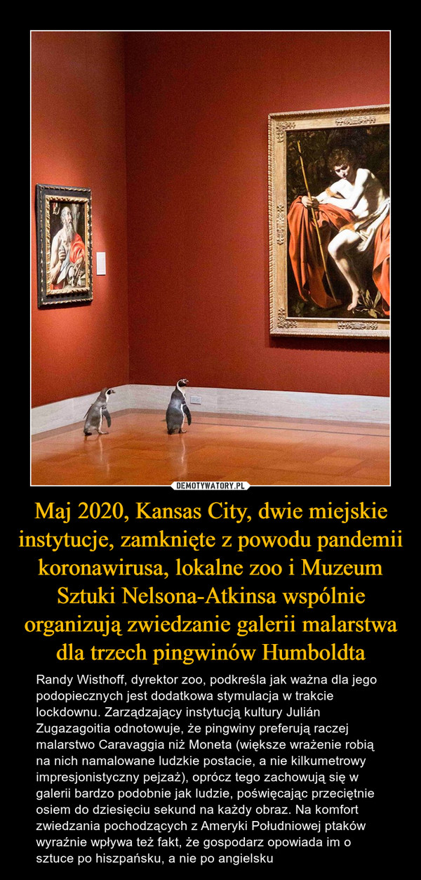 Maj 2020, Kansas City, dwie miejskie instytucje, zamknięte z powodu pandemii koronawirusa, lokalne zoo i Muzeum Sztuki Nelsona-Atkinsa wspólnie organizują zwiedzanie galerii malarstwa dla trzech pingwinów Humboldta – Randy Wisthoff, dyrektor zoo, podkreśla jak ważna dla jego podopiecznych jest dodatkowa stymulacja w trakcie lockdownu. Zarządzający instytucją kultury Julián Zugazagoitia odnotowuje, że pingwiny preferują raczej malarstwo Caravaggia niż Moneta (większe wrażenie robią na nich namalowane ludzkie postacie, a nie kilkumetrowy impresjonistyczny pejzaż), oprócz tego zachowują się w galerii bardzo podobnie jak ludzie, poświęcając przeciętnie osiem do dziesięciu sekund na każdy obraz. Na komfort zwiedzania pochodzących z Ameryki Południowej ptaków wyraźnie wpływa też fakt, że gospodarz opowiada im o sztuce po hiszpańsku, a nie po angielsku