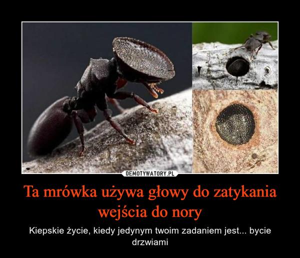 Ta mrówka używa głowy do zatykania wejścia do nory – Kiepskie życie, kiedy jedynym twoim zadaniem jest... bycie drzwiami