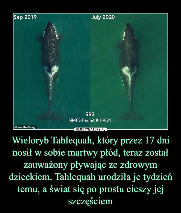 Wieloryb Tahlequah, który przez 17 dni nosił w sobie martwy płód, teraz został zauważony pływając ze zdrowym dzieckiem. Tahlequah urodziła je tydzień temu, a świat się po prostu cieszy jej szczęściem –
