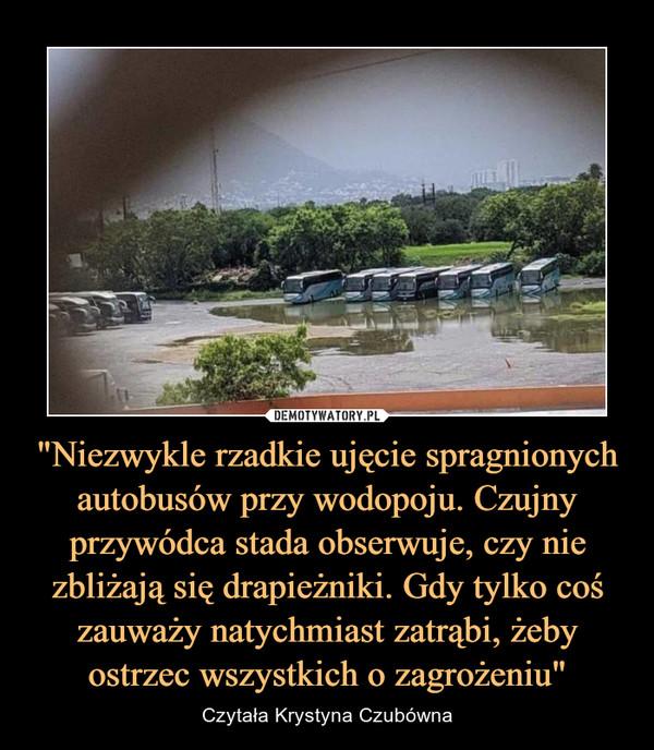 """""""Niezwykle rzadkie ujęcie spragnionych autobusów przy wodopoju. Czujny przywódca stada obserwuje, czy nie zbliżają się drapieżniki. Gdy tylko coś zauważy natychmiast zatrąbi, żeby ostrzec wszystkich o zagrożeniu"""" – Czytała Krystyna Czubówna"""