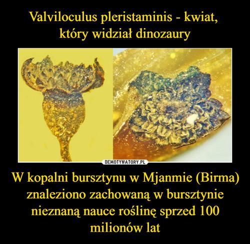 Valviloculus pleristaminis - kwiat,  który widział dinozaury W kopalni bursztynu w Mjanmie (Birma) znaleziono zachowaną w bursztynie nieznaną nauce roślinę sprzed 100 milionów lat