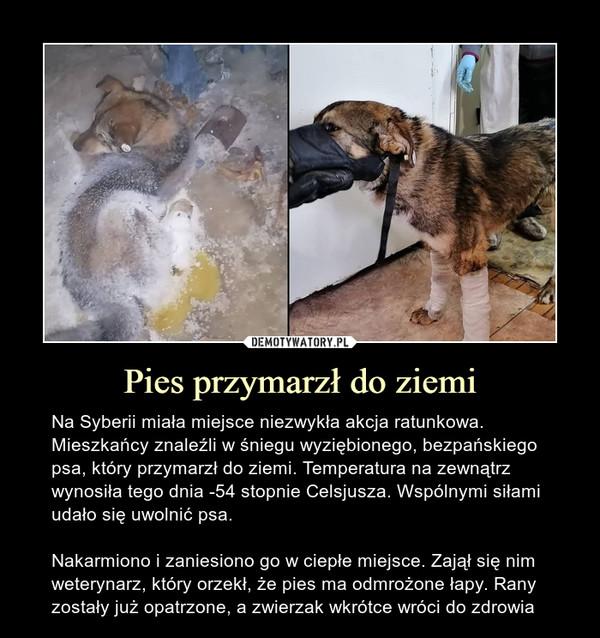 Pies przymarzł do ziemi – Na Syberii miała miejsce niezwykła akcja ratunkowa. Mieszkańcy znaleźli w śniegu wyziębionego, bezpańskiego psa, który przymarzł do ziemi. Temperatura na zewnątrz wynosiła tego dnia -54 stopnie Celsjusza. Wspólnymi siłami udało się uwolnić psa.Nakarmiono i zaniesiono go w ciepłe miejsce. Zajął się nim weterynarz, który orzekł, że pies ma odmrożone łapy. Rany zostały już opatrzone, a zwierzak wkrótce wróci do zdrowia