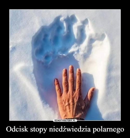 Odcisk stopy niedźwiedzia polarnego