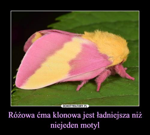 Różowa ćma klonowa jest ładniejsza niż niejeden motyl