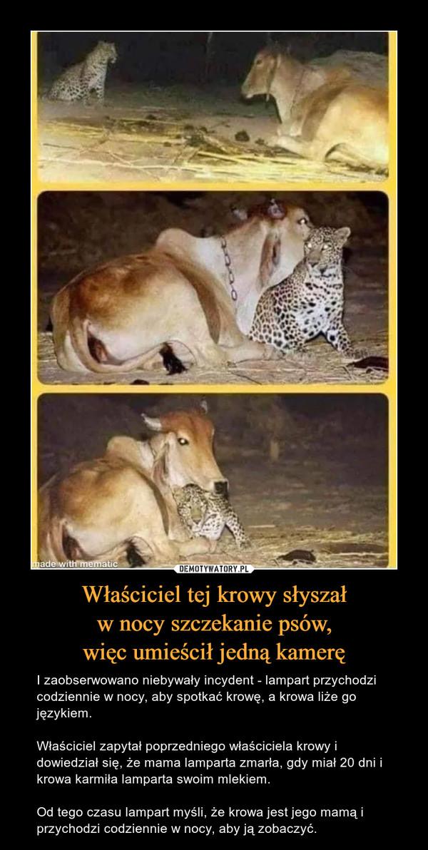 Właściciel tej krowy słyszałw nocy szczekanie psów,więc umieścił jedną kamerę – I zaobserwowano niebywały incydent - lampart przychodzi codziennie w nocy, aby spotkać krowę, a krowa liże go językiem.Właściciel zapytał poprzedniego właściciela krowy i dowiedział się, że mama lamparta zmarła, gdy miał 20 dni i krowa karmiła lamparta swoim mlekiem.Od tego czasu lampart myśli, że krowa jest jego mamą i przychodzi codziennie w nocy, aby ją zobaczyć.