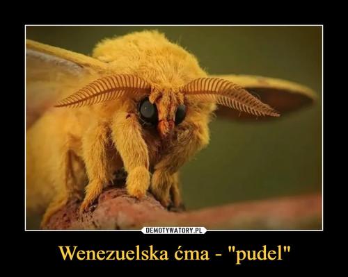 "Wenezuelska ćma - ""pudel"""