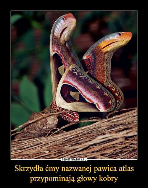 Skrzydła ćmy nazwanej pawica atlas przypominają głowy kobry