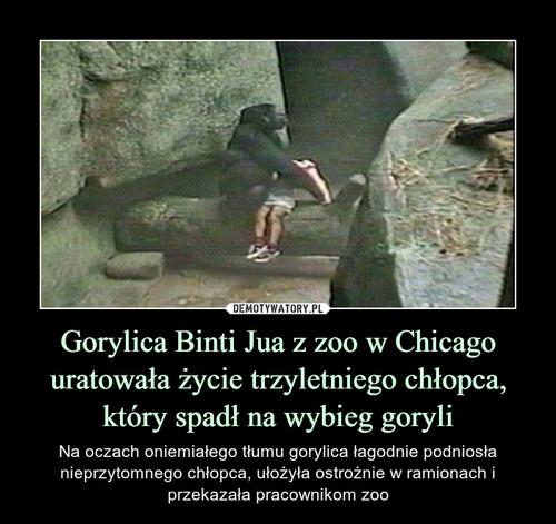 Gorylica Binti Jua z zoo w Chicago uratowała życie trzyletniego chłopca, który spadł na wybieg goryli
